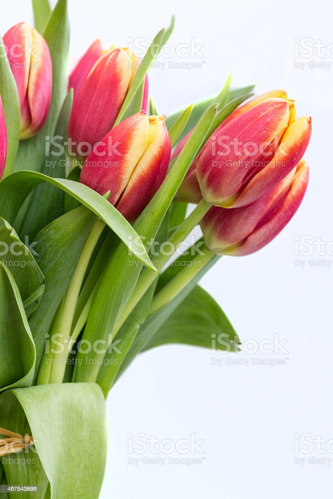 Close Up Red Spring Tulips stock photo