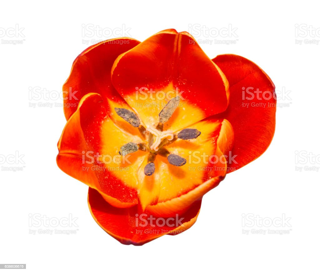 Close up Red tulip isolated on white background. stock photo