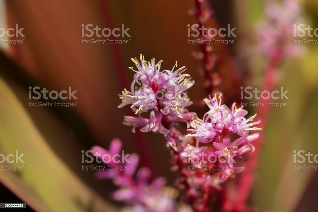 Close up reddish flowers ti plant. Blooming inflorescence flower stock photo