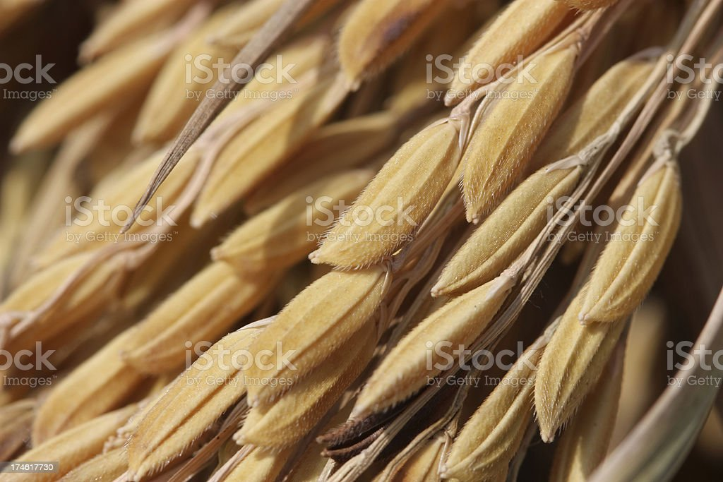 Close up rice stock photo