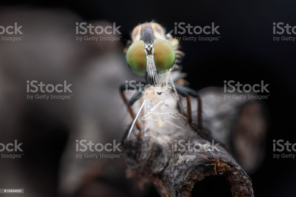 Close up Robber fly eating fly stock photo