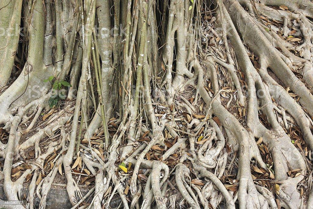 Close up root of Banyan tree stock photo