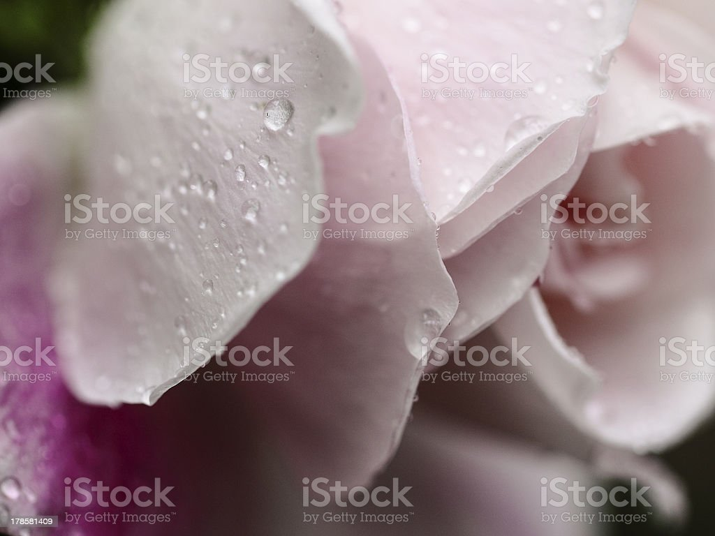 Close up Rose royalty-free stock photo