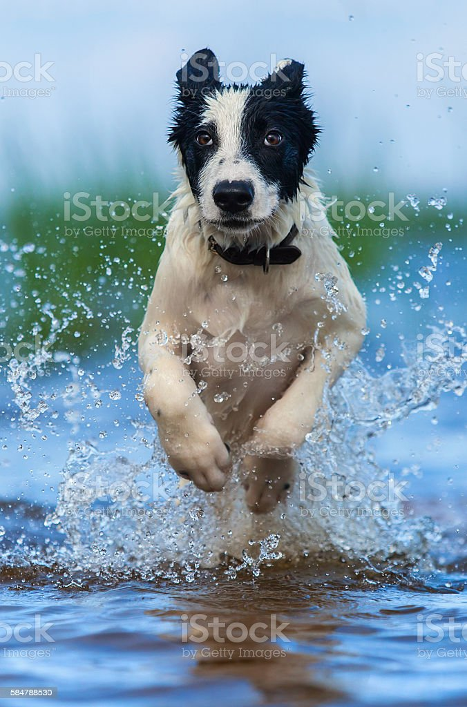 Close up running puppy of mongrel over water. stock photo