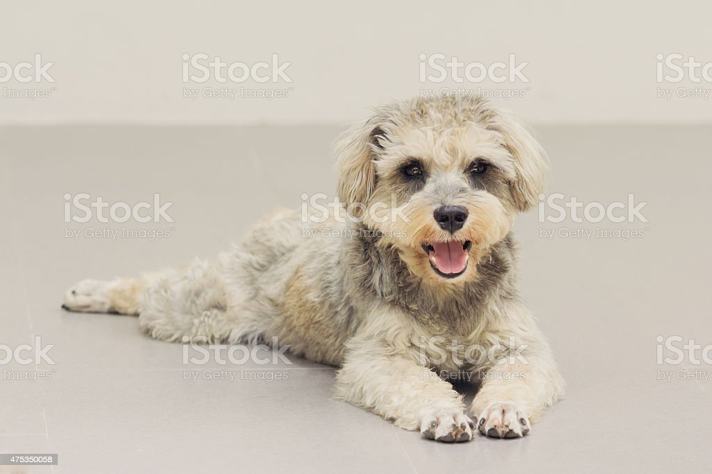 Close up Schnauzer, vintage color effect royalty-free stock photo