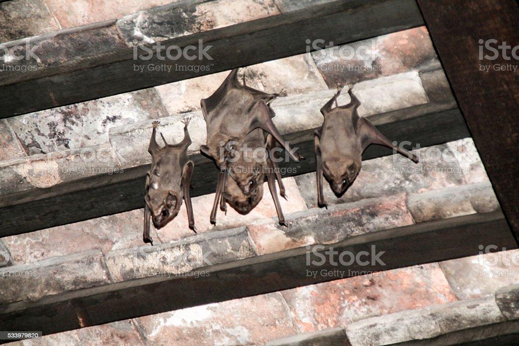 Gros plan tourné des chauves-souris accroche délicieusement sur le toit. photo libre de droits
