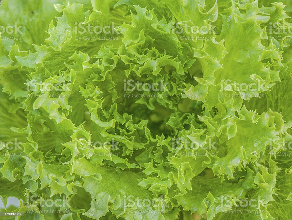 Close up shot of a greenish hydroponic vegetable royalty-free stock photo