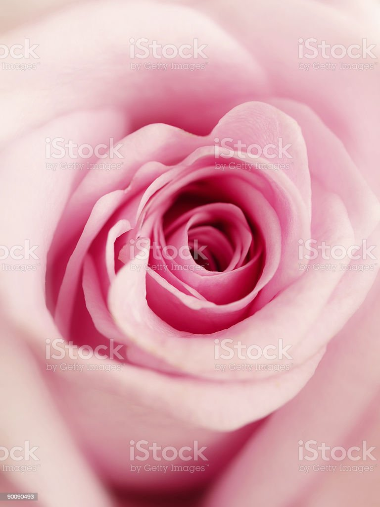 Close up shot of a light pink colored rose royalty-free stock photo