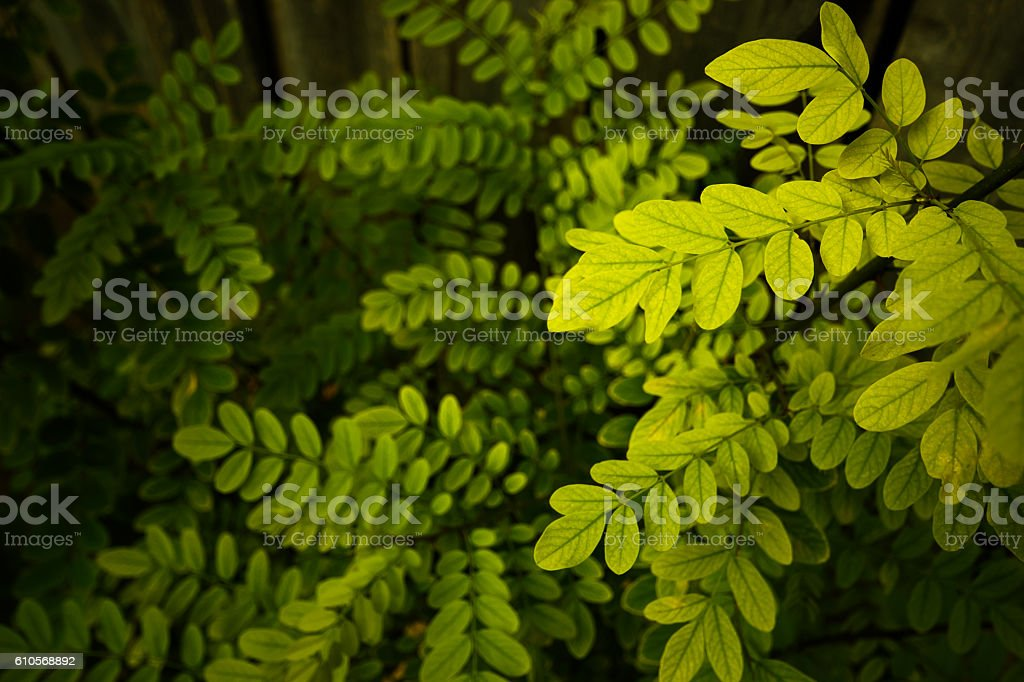 Close up shot of a locust tree stock photo