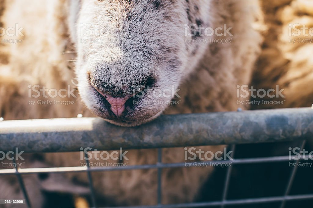 Close Up Shot of a Sheep Nose stock photo