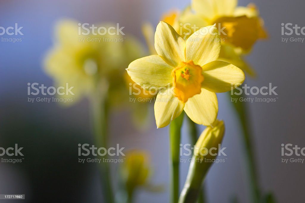 A close up shot of a yellow narcissus flower royalty-free stock photo