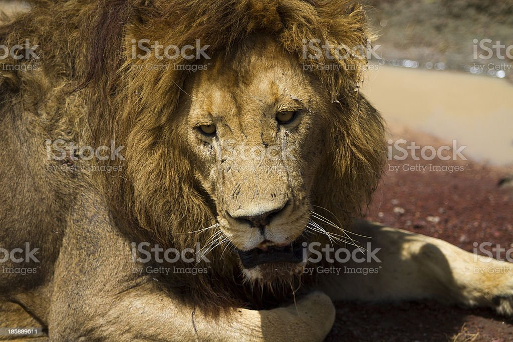 Close up shot of adult male lion by roadside stock photo
