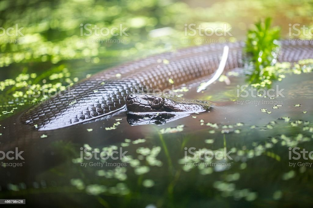 Close up shot of big black snake laying in water stock photo