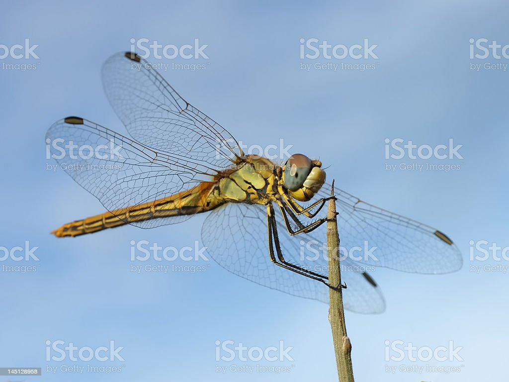 Close up shot of dragonfly landing on top of a stick stock photo