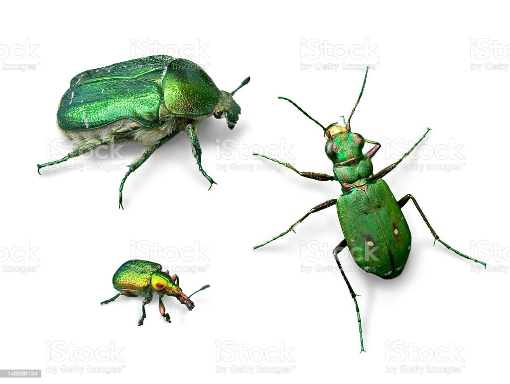 A close up shot of green beetles in white background  royalty-free stock photo