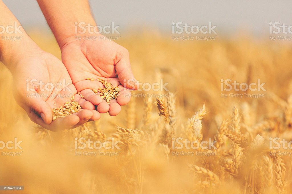 Close up shot of hands holding wheat seeds stock photo