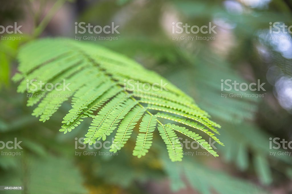 Close up shot of leaves from Flame Tree (Delonix regia) stock photo