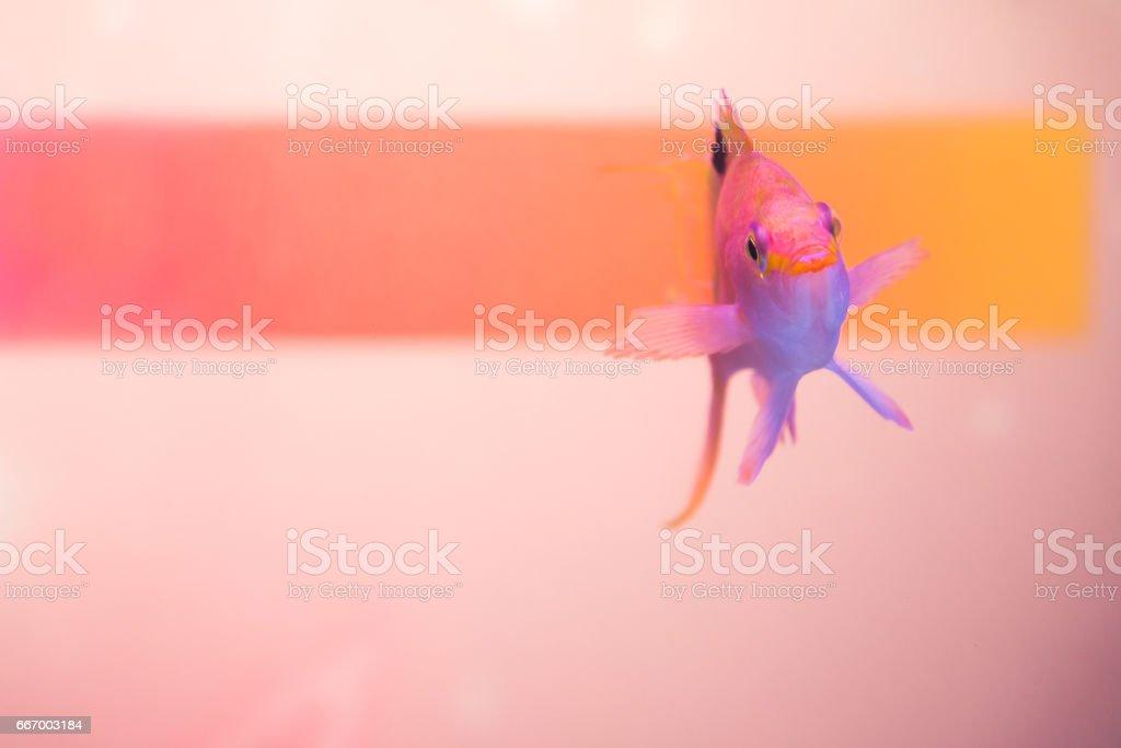 Close up shot of pink anthias stock photo