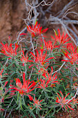 Close Up Shot of Red Desert Indian Paintbrush Flower
