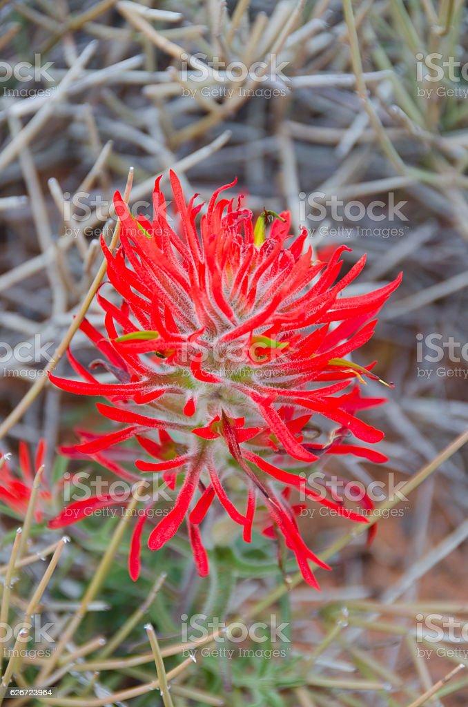 Close Up Shot of Red Desert Indian Paintbrush Flower stock photo
