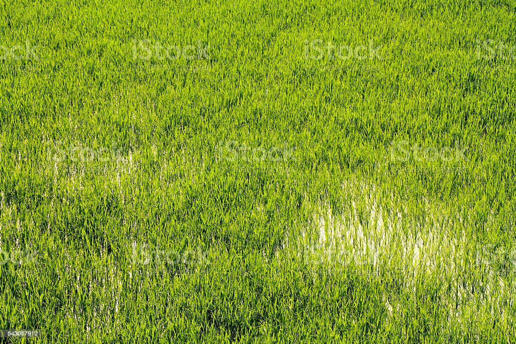 Close up shot of rice fields in water. photo libre de droits