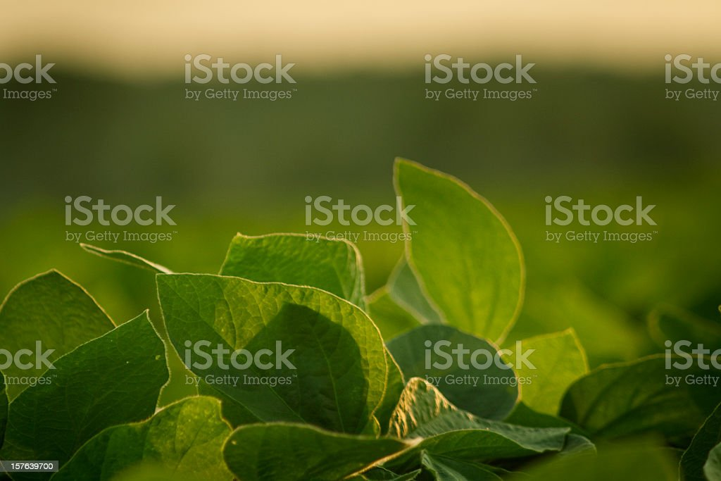 Close up shot of soy leaves glistening in the sunshine stock photo