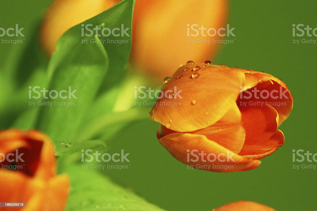 Close up shot of tulips bouquet stock photo