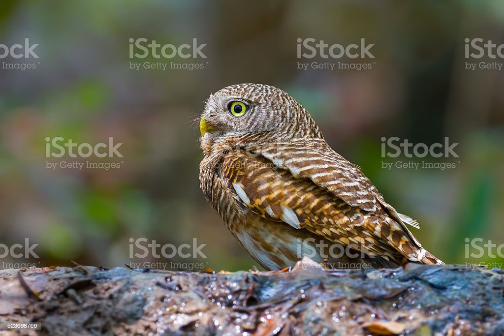 Close up side of Asian Barred Owlet stock photo