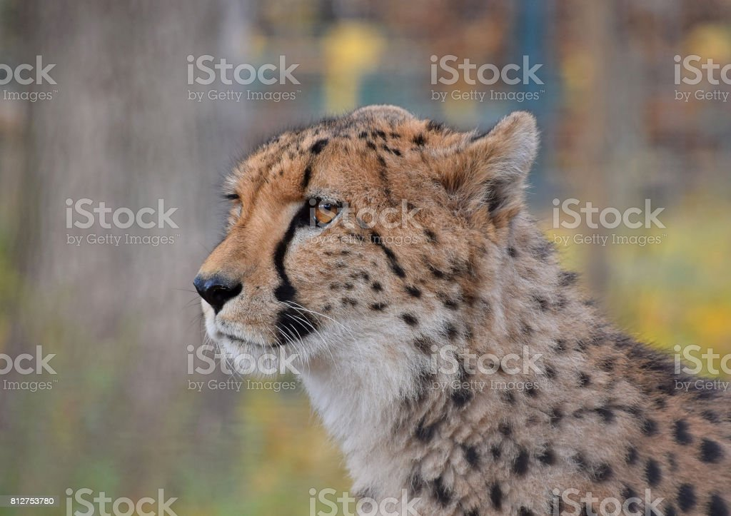Close up side profile portrait of cheetah stock photo