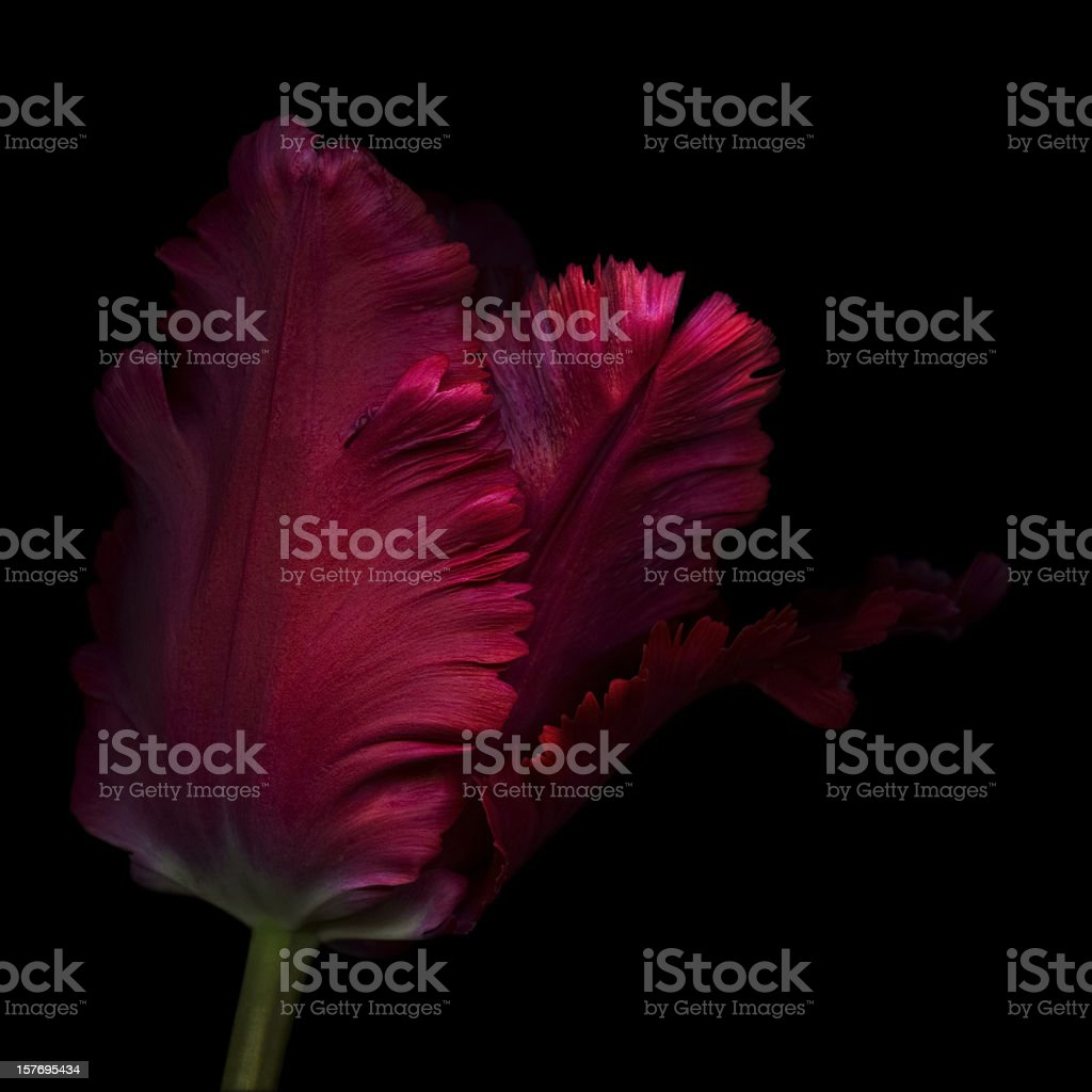 Close up, side view of a single red parrot tulip  stock photo