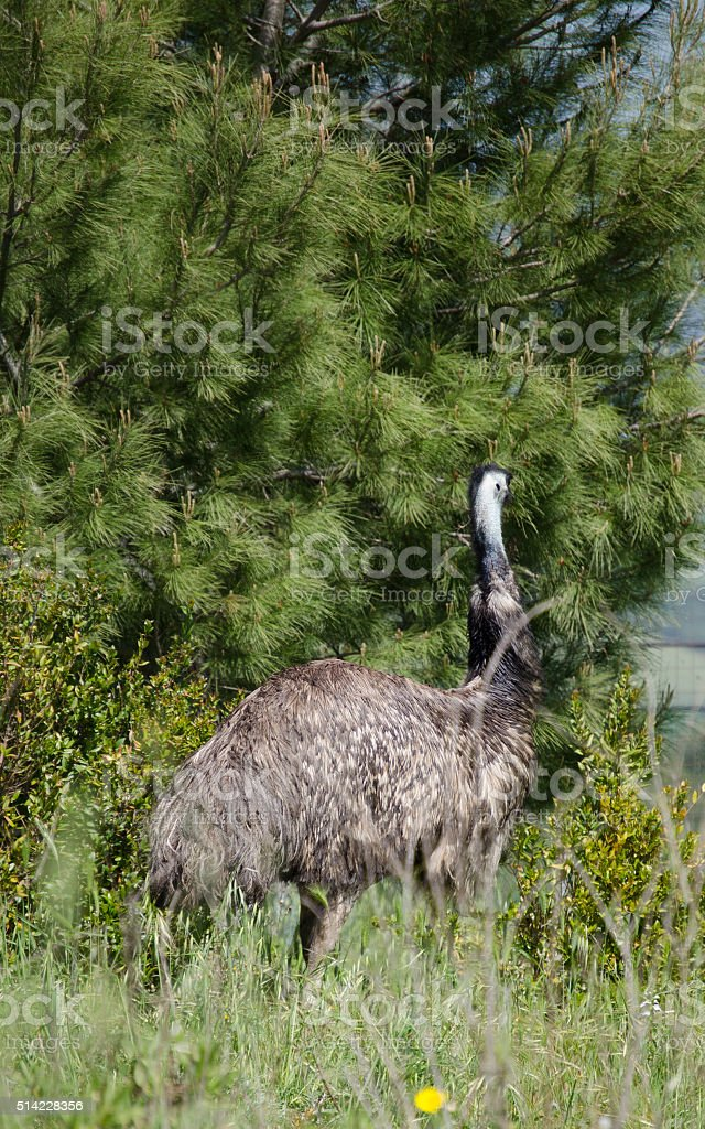 Close up side view portrait of an emu bird stock photo