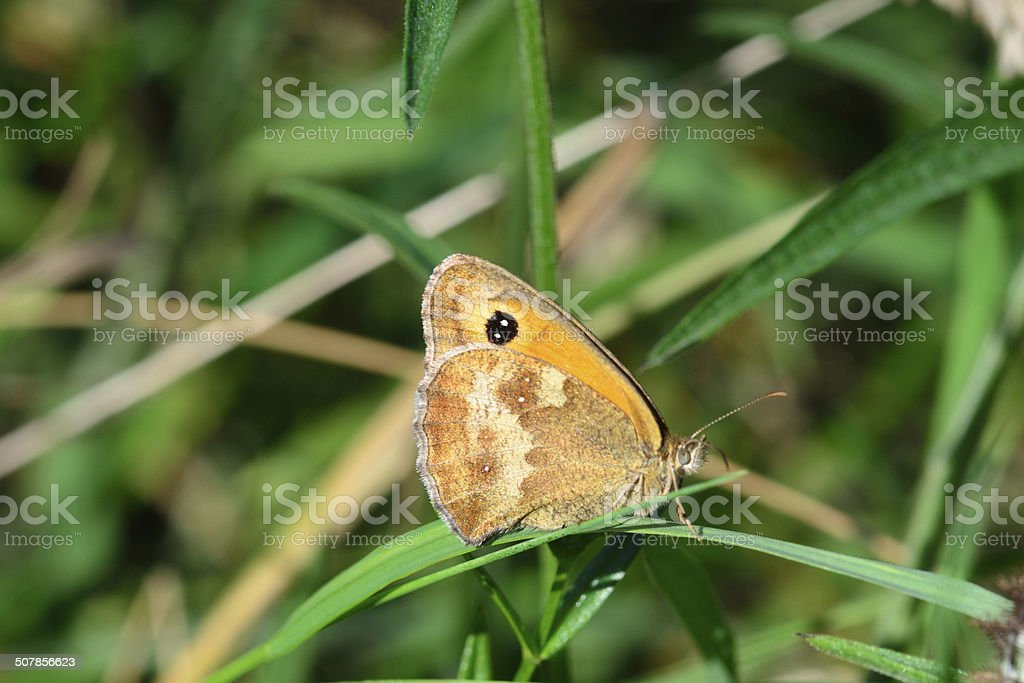 Close up small heath butterfly stock photo