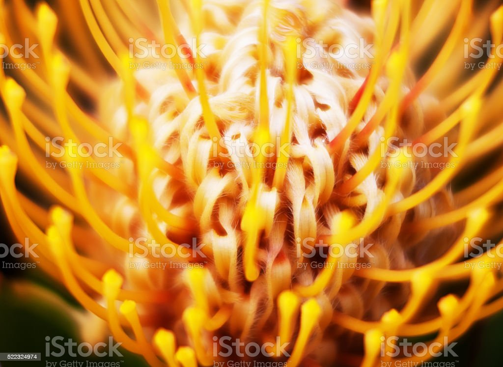 Close up, soft focus Pincushion protea stock photo