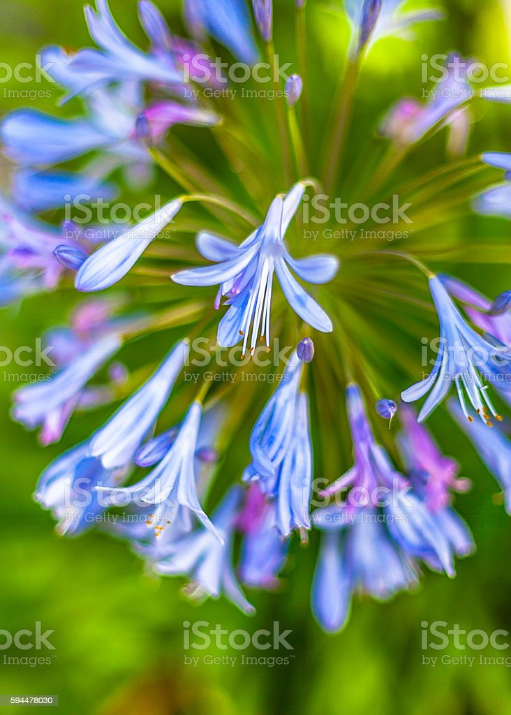 Close Up Soft Focus View Of African Lily Flowers royalty-free stock photo