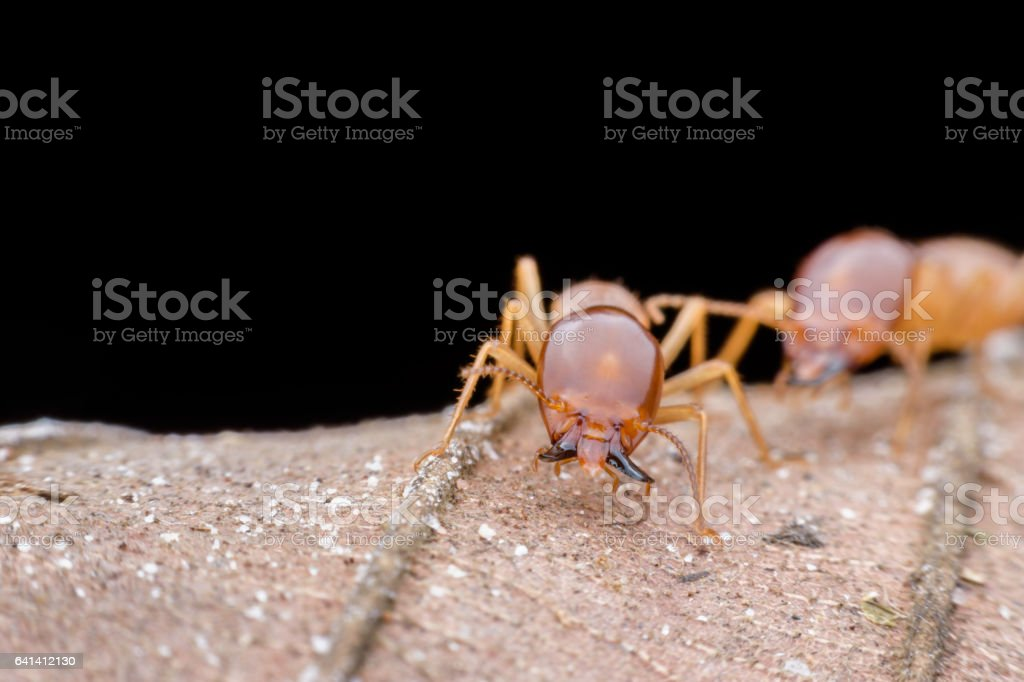 Close up soldier termite on dried leaf stock photo