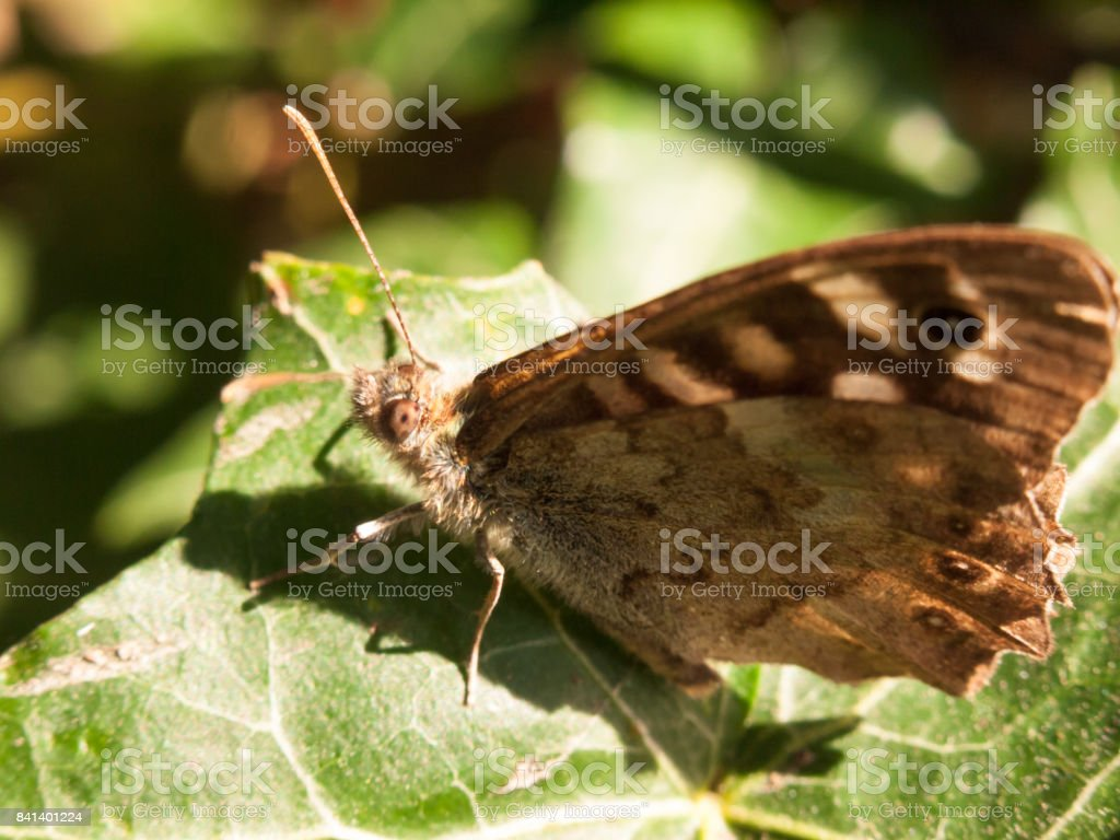 close up speckled wood butterfly on leaf resting Pararge aegeria stock photo
