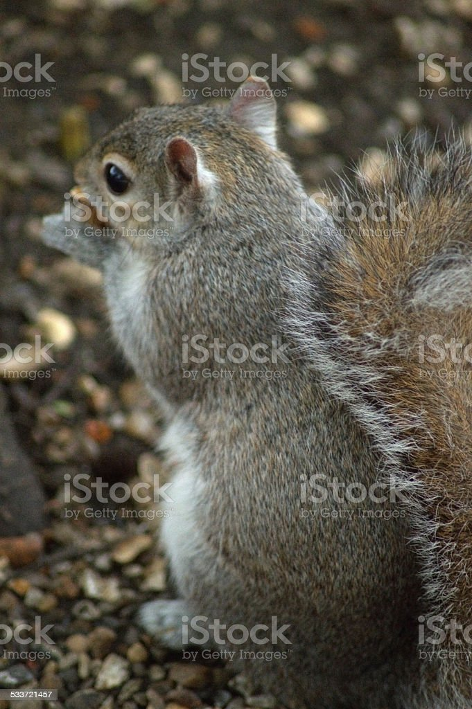 Close Up Squirrel Eating from Behind stock photo