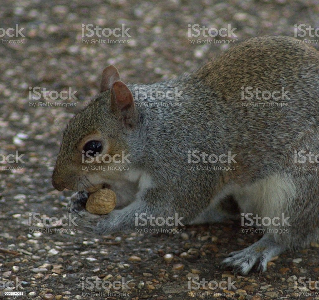 Close Up Squirrel Eating Nuts stock photo