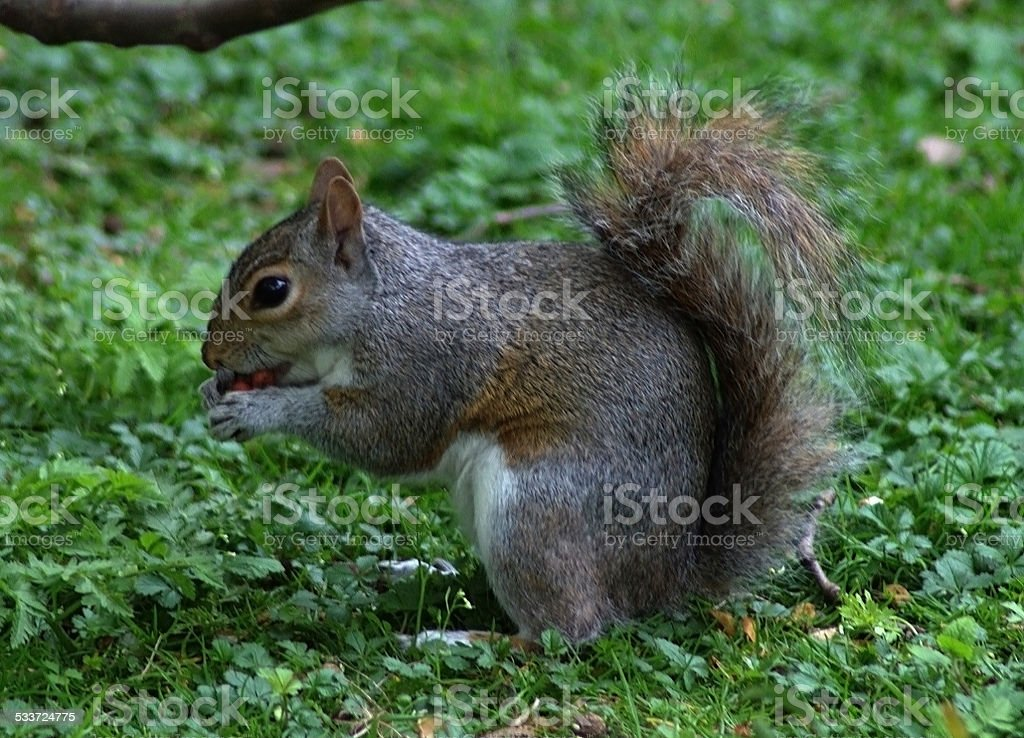 Close Up Squirrel Eating stock photo