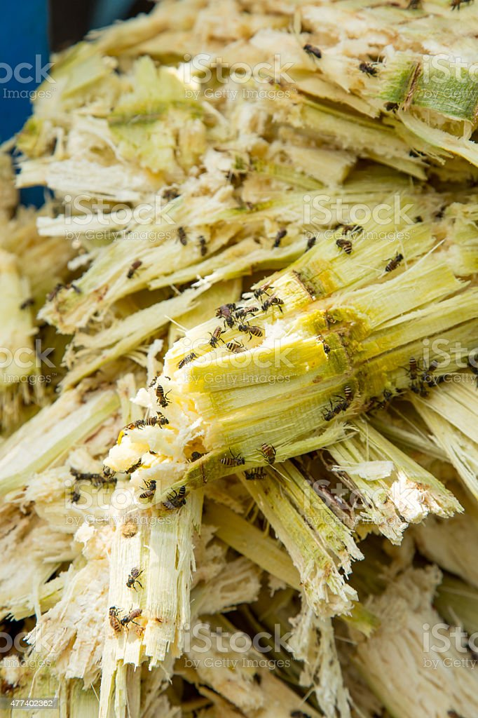 Close up stack bagasse of sugarcane and bee stock photo