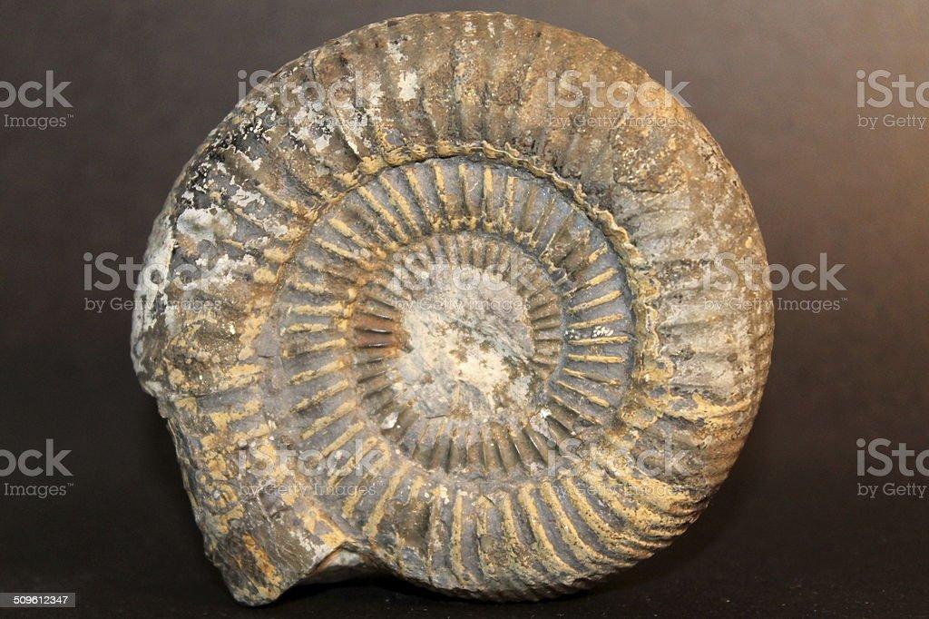 Close up Stood ammonite on black background stock photo