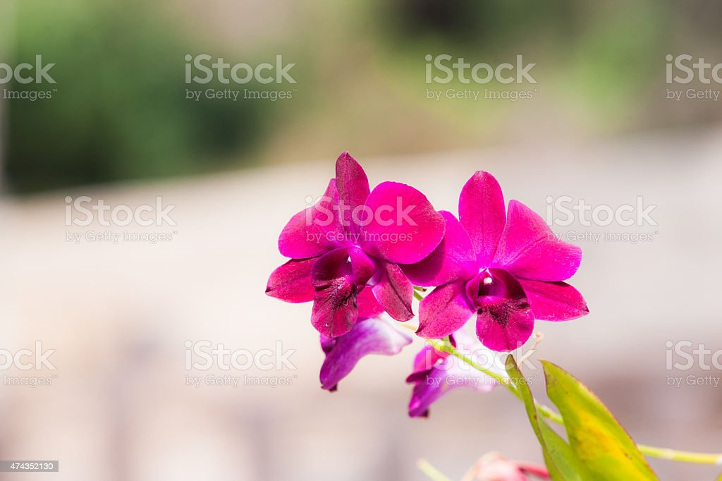 close up streaked orchid flower. stock photo