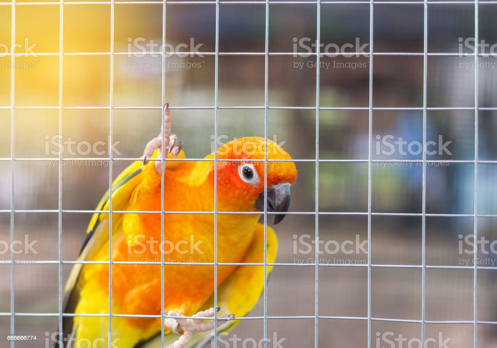 Close up sun conure (Aratinga solstitialis) climbing in the cage stock photo