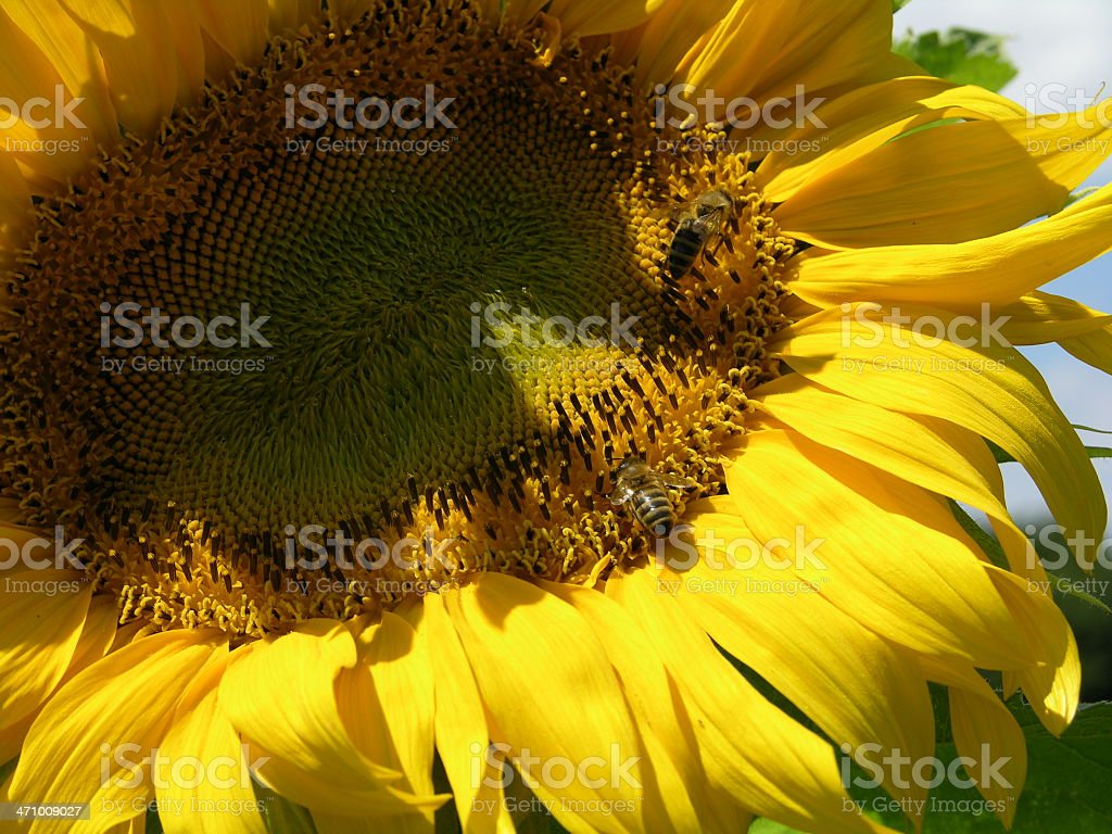 close up sun flower 1 royalty-free stock photo