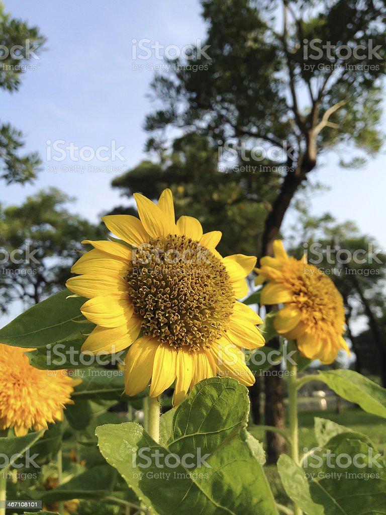 Крупный план sunflower в голубое небо Стоковые фото Стоковая фотография