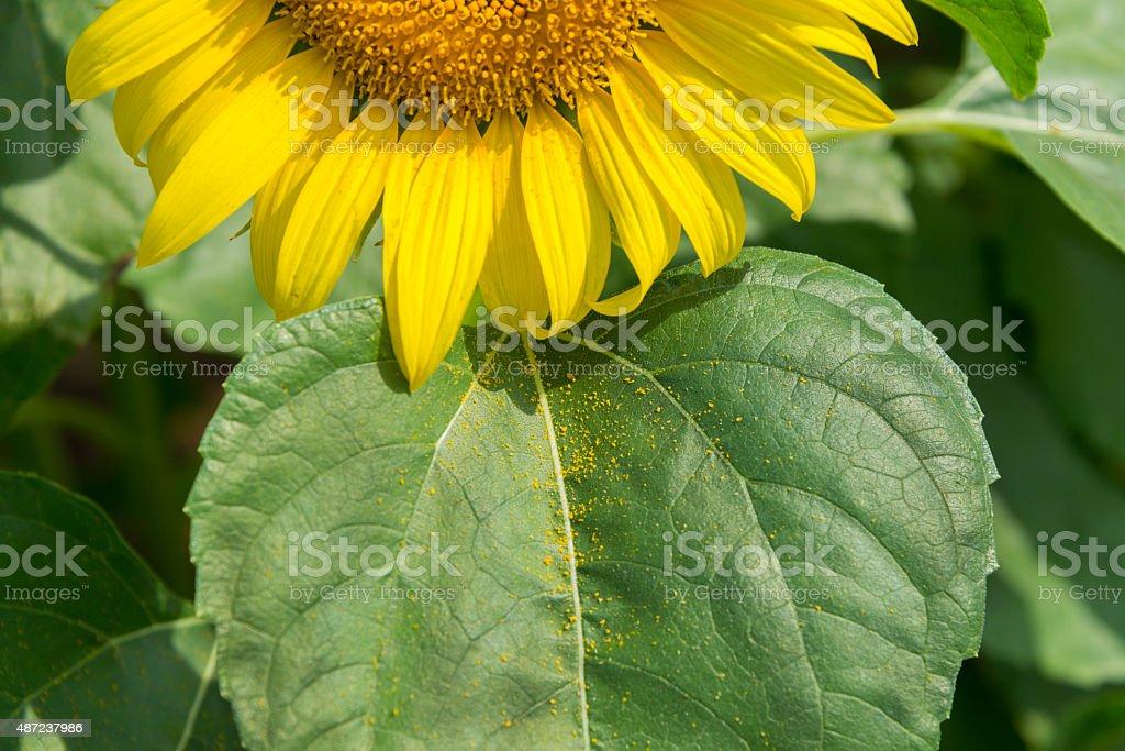 Close Up Sunflower stock photo