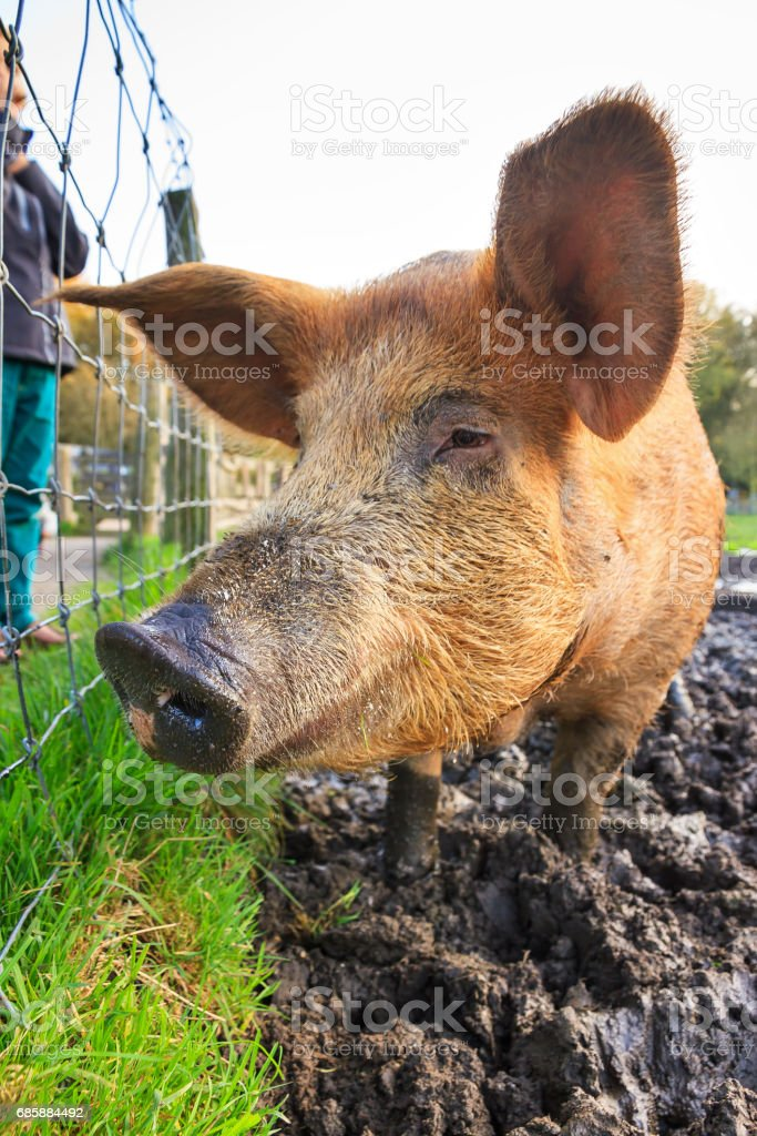 Close up sus scrofa stock photo