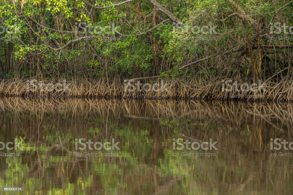 Close up tangle of Mangrove tree roots and branches growing in to a calm mangrove river. stock photo