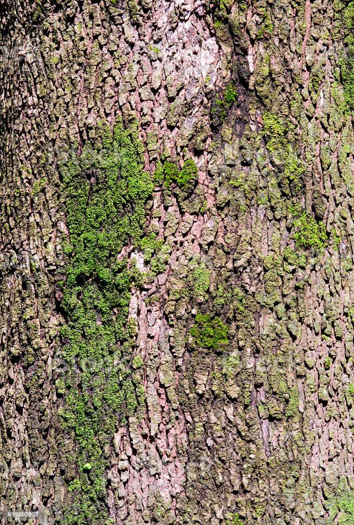 Close up texture of camphor tree bark stock photo
