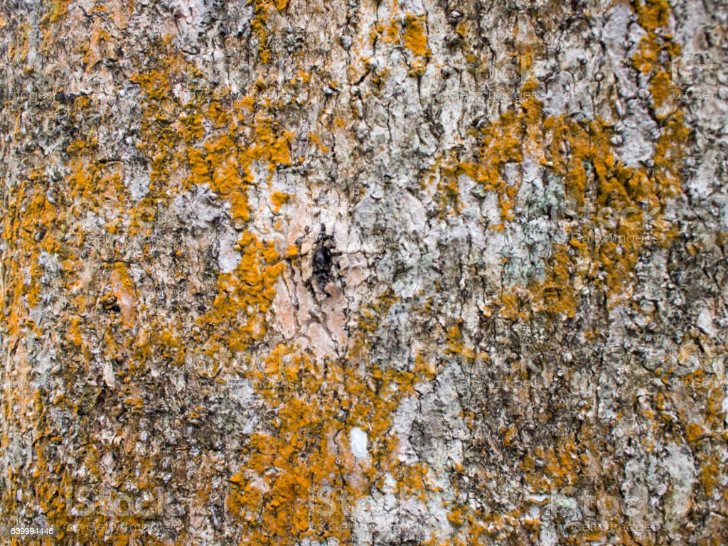 Close up the texture of the rough tree skin. stock photo